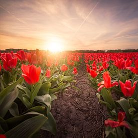 Rode tulpen bij zonsondergang van Chris Snoek