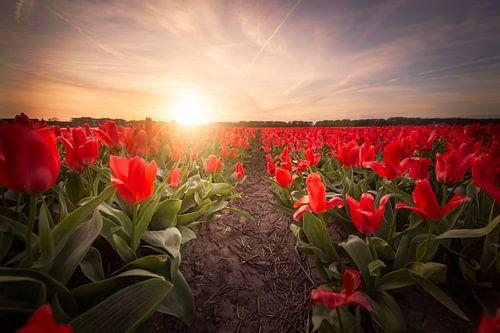 Rode tulpen bij zonsondergang van