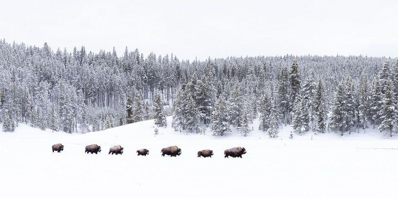 Follow the leader, bisons in Yellowstone van Sjaak den Breeje