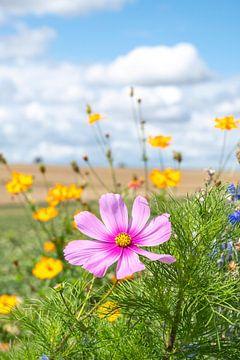 Sommerblumen in Rosa und Goldgelb auf einem Melonenfeld in Frankreich.