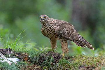 Falke mit Beute von Harry Eggens