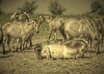 Konik Paarden van Wilfried van Dokkumburg
