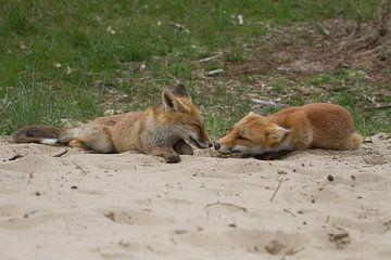 Jonge vossen van
