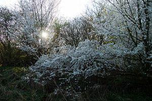 Morgensonne in nebligem Weiß blühen von wil spijker