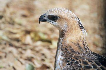 Roofvogel Sri lanka van Alyssa Alsemgeest