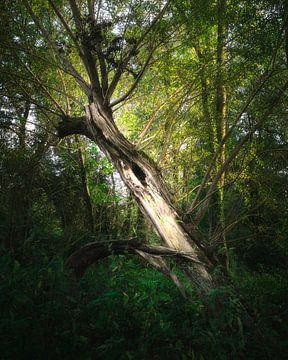 Gespleten boom van Kristoff De Turck
