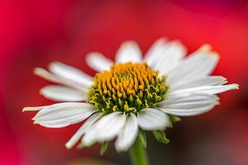 Margeritenblume von Desirée Couwenberg