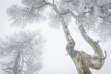 Boomkruinen met rijp van Michel Lucas