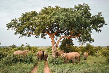 Elefanten unter einem Amarulabaum im Timbavati-Wildpark in Südafrika von Nathalie Wilmsen