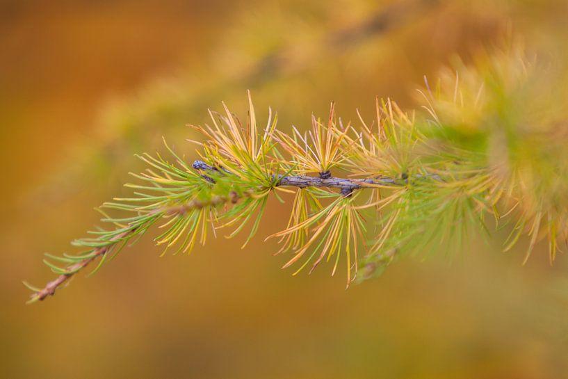 Larix in herfstkleur van Marcel Antons