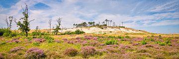 heide in bloei in de Schoorlse duinen van eric van der eijk