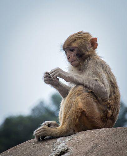 Concentratie.  Aapje bij de Pashupatinath tempel, Kathmandu