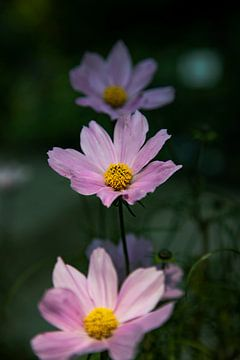 Roze Bloemen op een rij van Petro Luft