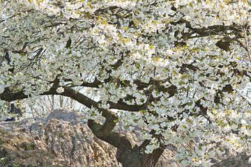 Japanisches Weiß im Frühling von J..M de Jong-Jansen