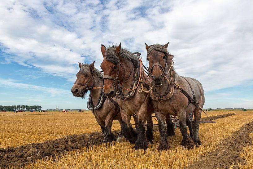 Zeeuwse Trekpaarden van Bram van Broekhoven