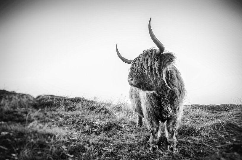 Schottischer Highlander von Stefan Witte