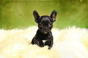Niedliche Französische Bulldogge