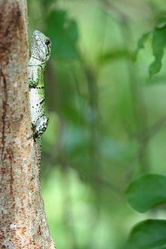 Felgroene hagedis (Lacertilia)