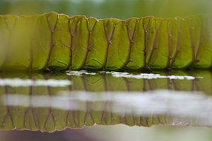 Blad van een groene waterlelie