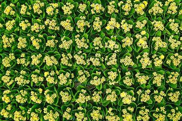 Kleurrijk bouquet van kalanchoes in tuinbouwkas van Gert van Santen