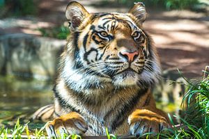"""De """"Trots"""" van een Sumatraanse tijger"""