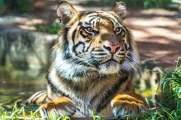 """De """"Trots"""" van een Sumatraanse tijger van"""