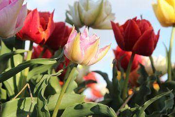 Tulpen von Geert Heldens