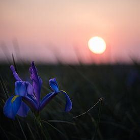 Iris veld met zonsondergang van ProPhoto Pictures