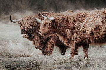 Schotse hooglanders in Hollands Duin van Melissa Peltenburg