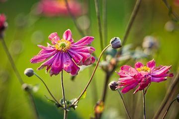 Anemone hybrida Pamina van Sran Vld Fotografie