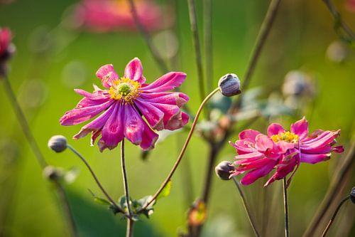 Anemone hybrida Pamina