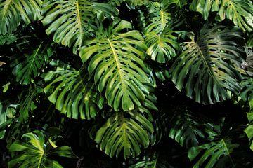 Schöne grüne Blätter/Blatt Monstera Deliciosa Blatt von Bianca ter Riet