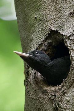 Schwarzspecht ( Dryocopus martius ), junges Weibchen, schaut aus ihrer Nisthöhle, wildlife, Europa. von wunderbare Erde