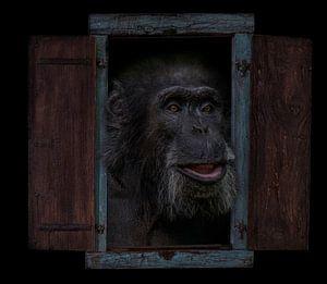 Chimpansee van Ron Meijer