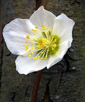 White Helleborus van