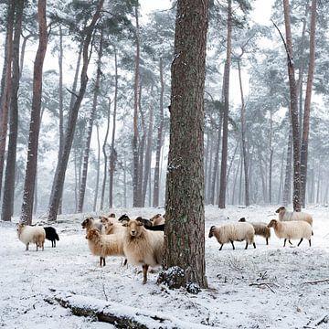 schapen in besneeuwd bos van anton havelaar