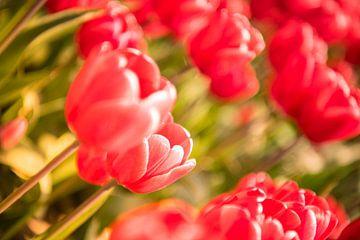 Blühende rote und rosa Tulpen in einem Feld an einem schönen Frühlingstag von Sjoerd van der Wal