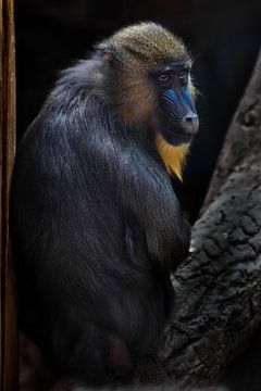 Een prachtige madrilbaviaan met helder geel haar en een blauwe neus op een donkere achtergrond. het  van Michael Semenov