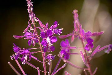 Concept flora : Lythracaee von Michael Nägele