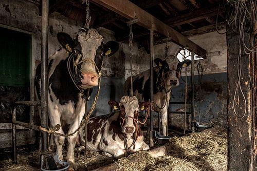 De koeien van boer Klein