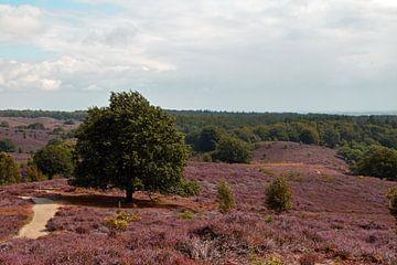 hügeliges Moorland der Posbank in Rheden in Blüte mit violettem Heidekraut von Robin Verhoef