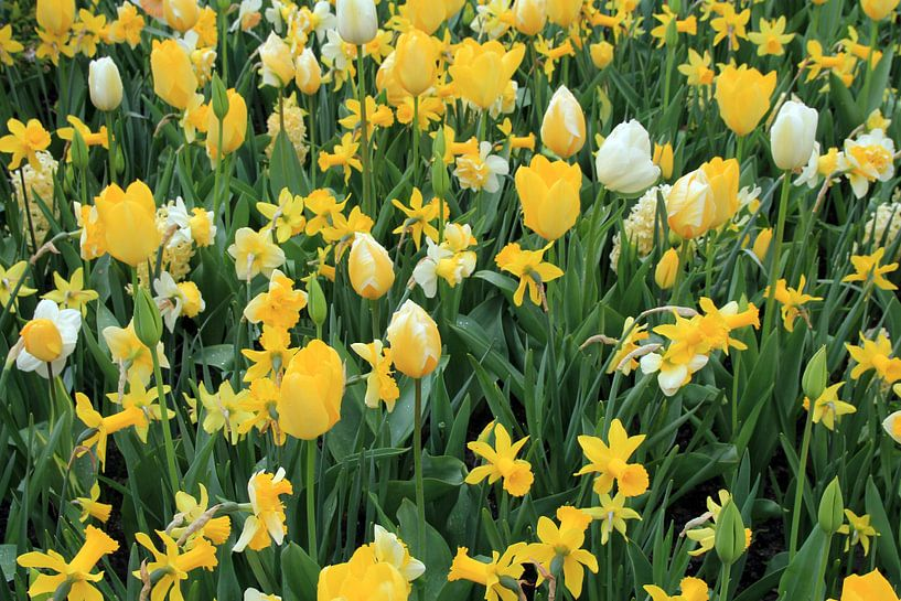The Yellow Flower Field van Cornelis (Cees) Cornelissen