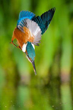 IJsvogel van IJsvogels.nl - Corné van Oosterhout