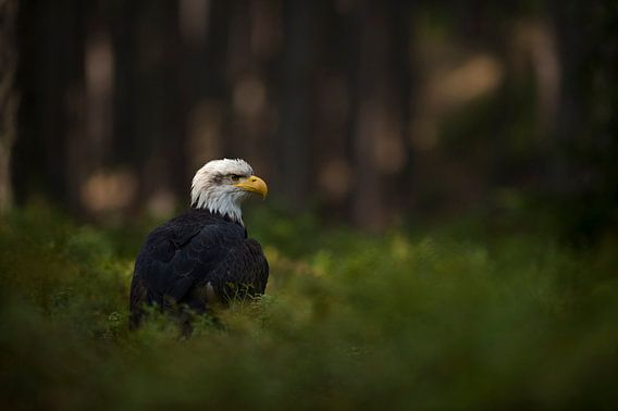 Bald Eagle ( Haliaeetus leucocephalus ), watches attentively, sitting in a spotlight in the undergro