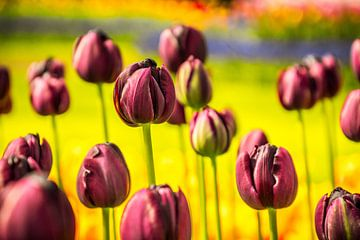 Paarse tulpen sur Stedom Fotografie