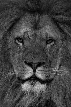 Löwe: Nahaufnahme eines Löwenkopfes schwarz und weiß von Marjolein van Middelkoop