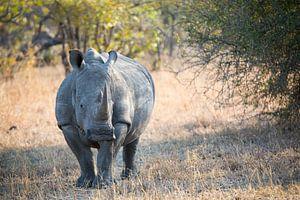 Rhino Portrait II