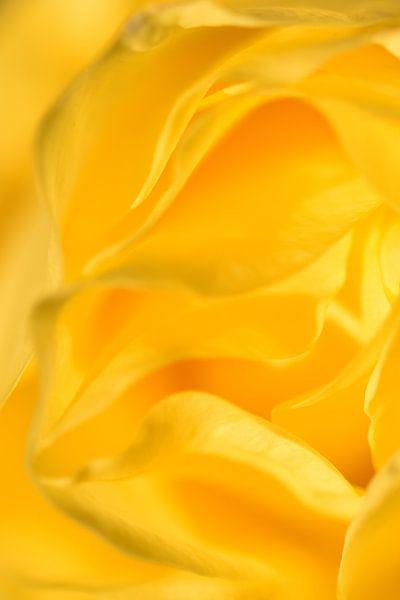 Detail gele roos staand van Sascha van Dam
