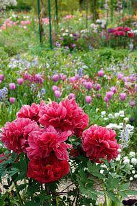 Rode pioenrozen met tulpen op de achtergrond