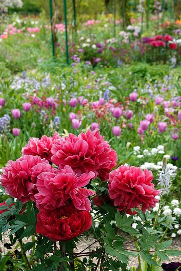 Rode pioenrozen met tulpen op de achtergrond van Aagje de Jong